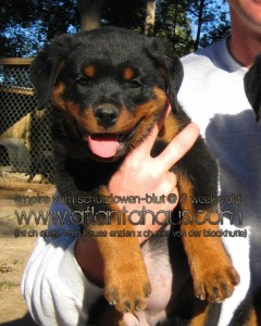 German rottweiler puppies are our passion at Atlantahaus Rottweilers.