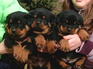 Akira And Joker German Rottie Puppies For Sale