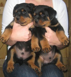 Rottweiler Puppies For Sale Atlanta Ga