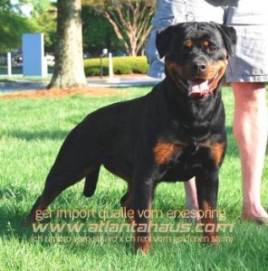Qualle Rottweiler Puppies Available!