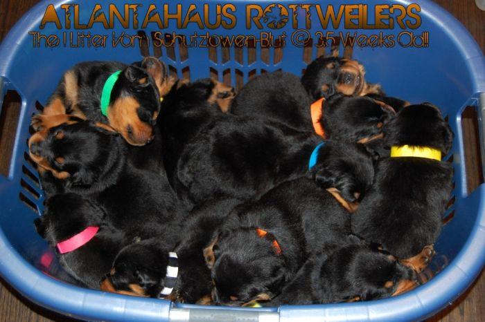 A Trustworthy Atlanta German Rottweiler Breeder