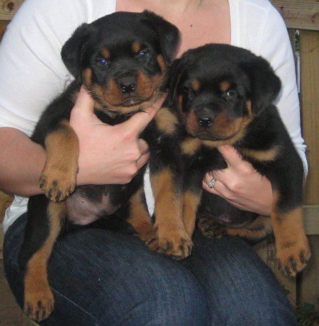 Champion Rottweilers From An Ethical Breeder