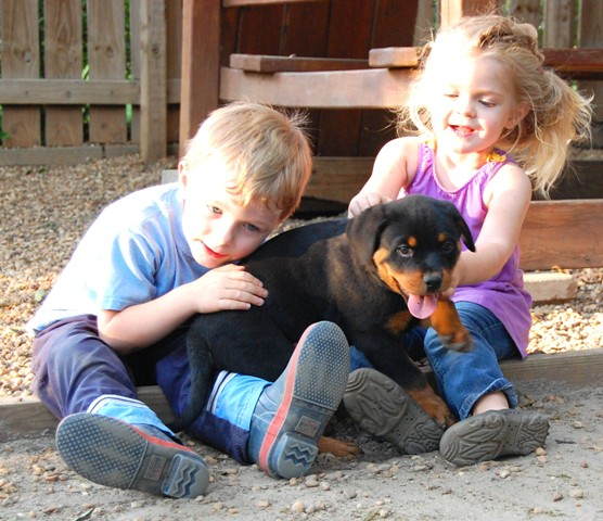 rpttweiler puppies socialization