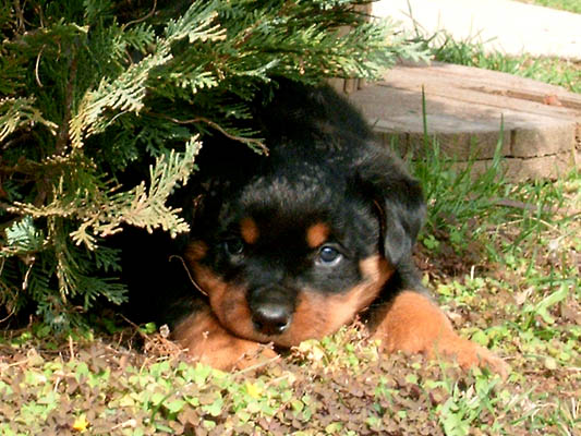 Adopt A Rottweiler Puppy For Your Family Today