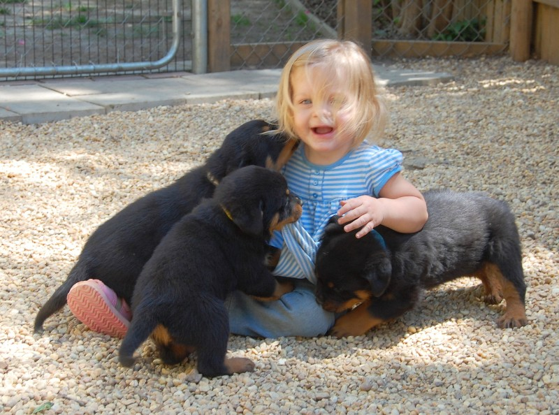 Socialized rottweiler puppies