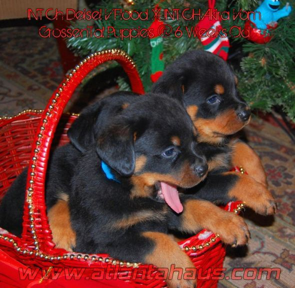 Rottweiler Puppies in the home