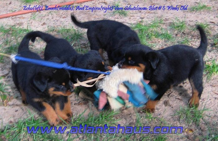 The Purpose Of The German Rottweiler Dog Breed