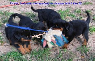 rottie pups for sale