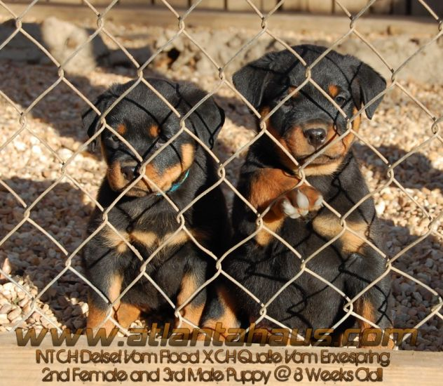 Qualle and Diesel Rottweiler Puppies