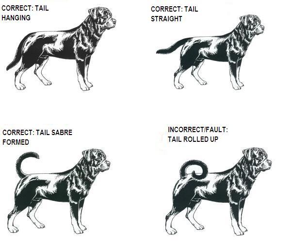 The Rottweiler Tail Standard Greman Rottweiler Breeders