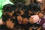 Atlantahaus Current Rottweiler Puppies For Sale Litters