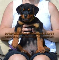 B Litter Millerhaus Yellow Male Puppy