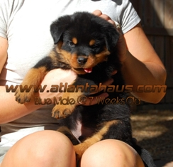 K2 Rottweiler Puppy Blue Male