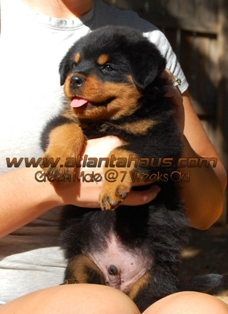 K2 Litter Green Male Puppy