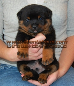 Blue Male Rottweiler Puppy