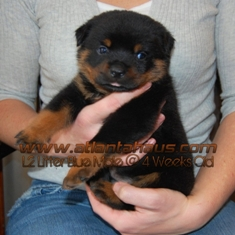 L2 Blue Male Rottweiler Puppy