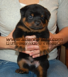 Grrn Male Rottie Puppie