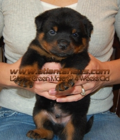 L2 Rottie Pups Green Male