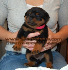 L2 Pink Female Rottweiler Puppy