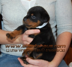 L2 White Female Puppy