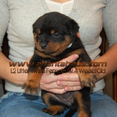 White Female Rottweiler Puppy