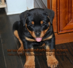 Nikko Rottweiler Male Headshot
