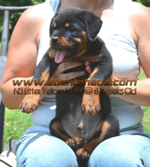 N3 Litter Yellow Male