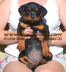 R3 Litter Green Female Puppy