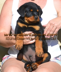 R3 Litter Green Male Puppy