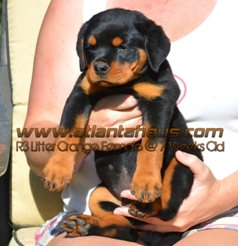 R3 Litter Orange Female Puppy