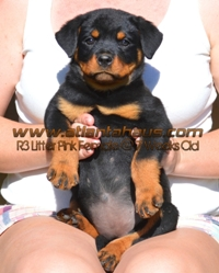 R3 Litter Pink Female Puppy